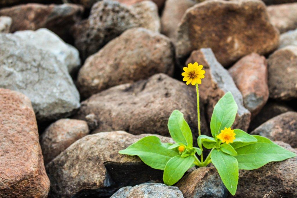 Cette image a un attribut alt vide; le nom du fichier est two-yellow-flowers-surrounded-by-rocks-10289301347136725938734602.jpg